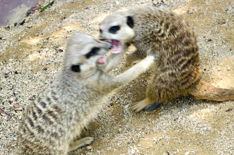 南紀白浜アドベンチャーワールドのミーアキャットの喧嘩