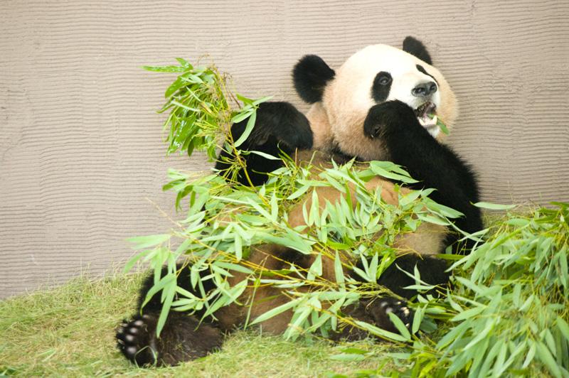 南紀白浜アドベンチャーワールドのジャイアントパンダ