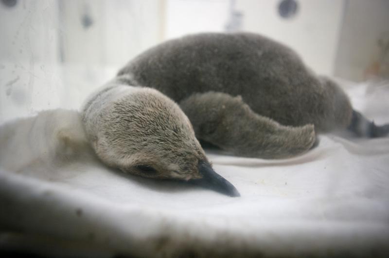 南紀白浜アドベンチャーワールドの生まれたての赤ちゃんペンギン