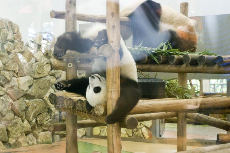 和歌山県南紀白浜アドベンチャーワールドのパンダ