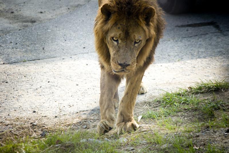 南紀白浜アドベンチャーワールドのライオン