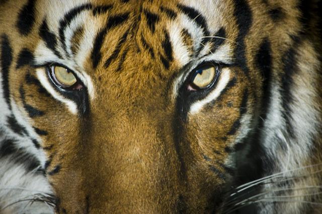 石川県能美市いしかわ動物園のトラ