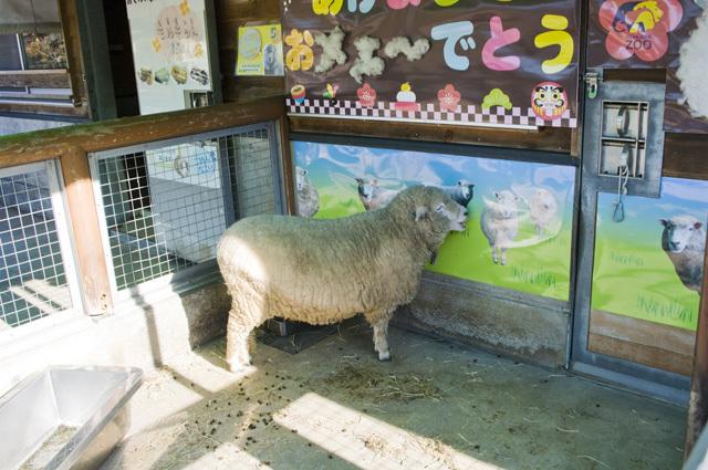 いしかわ動物園の羊
