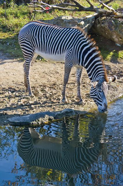 いしかわ動物園のシマウマ