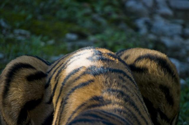 いしかわ動物園のトラのおしり