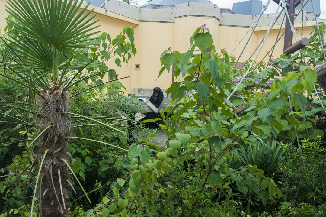 京都市動物園のチンパンジー