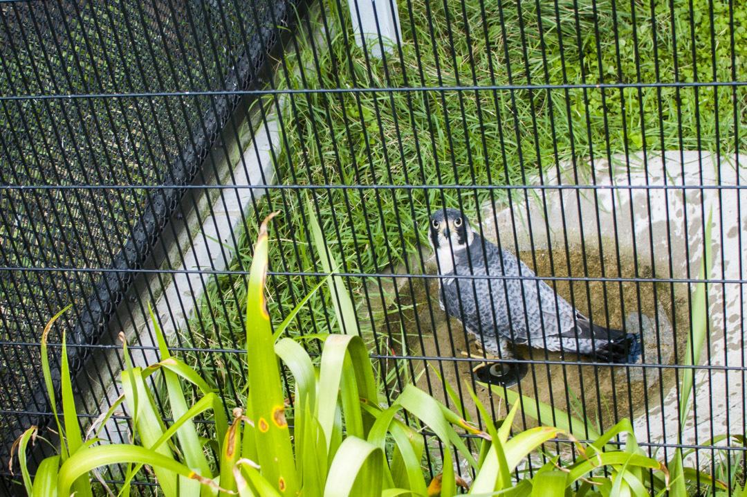 京都市動物園のハヤブサ