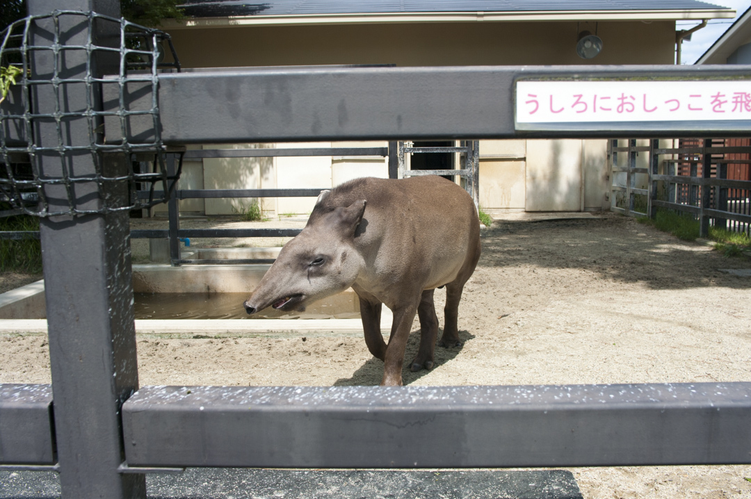 京都市動物園のブラジルバクをかわいく撮れる角度