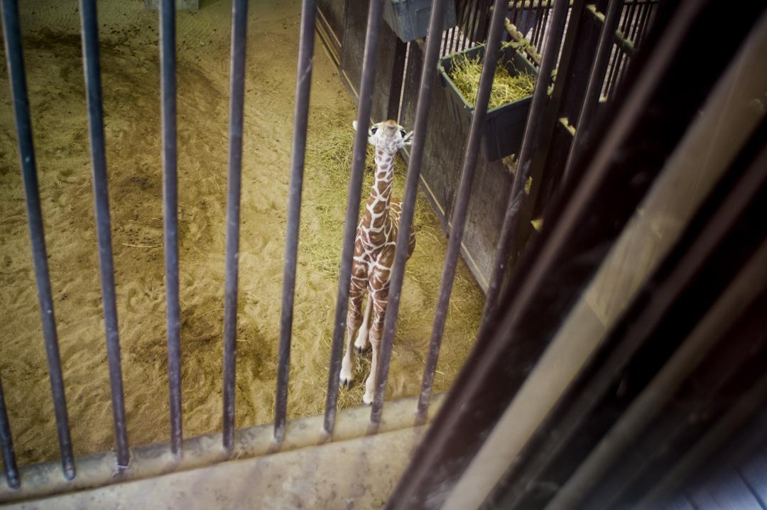 京都市動物園のキリンの赤ちゃん