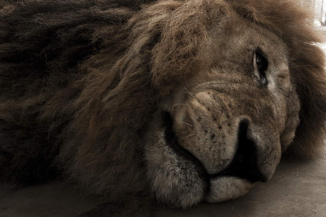 いしかわ動物園のライオンは王者の風格の寝顔