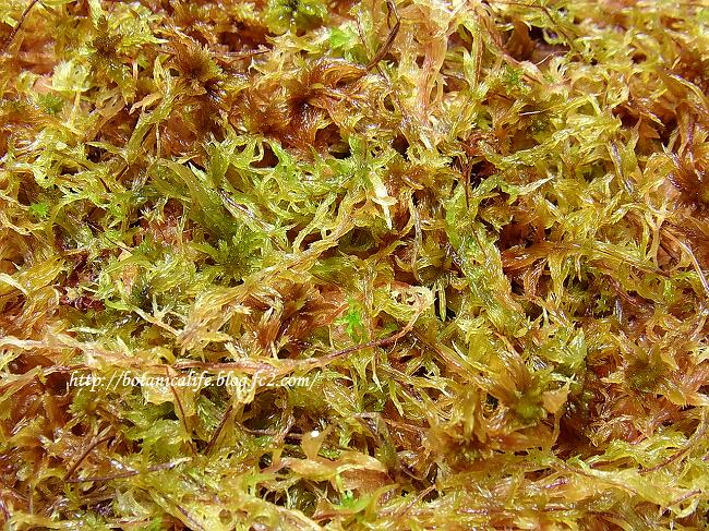 冬に採集した水苔