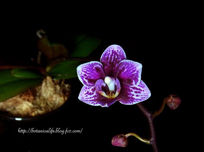 もう一つの胡蝶蘭が咲きました。