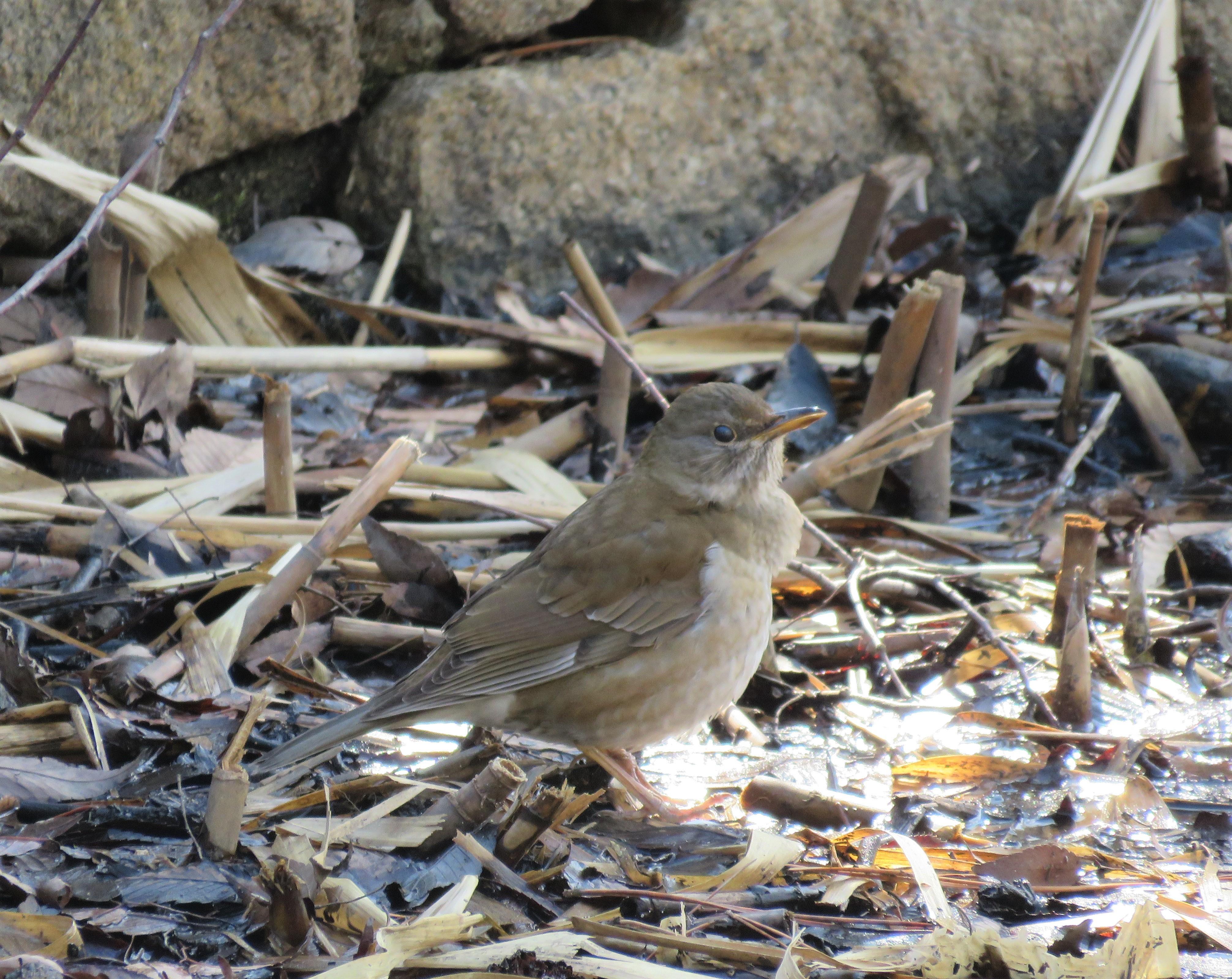シロハラ雌2
