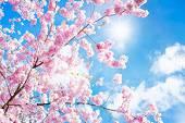 恋が始まる花吹雪 (中編)