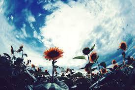 10月の向日葵 (137)