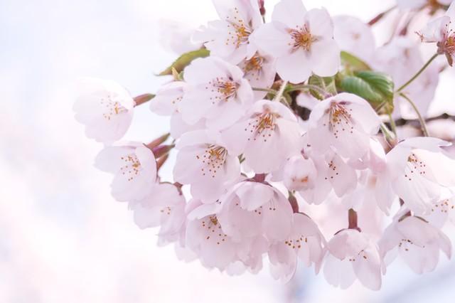 桜散る日の優しい雨・4