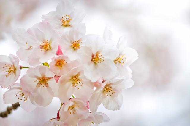 桜散る日の優しい雨・1