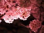 夜桜の色に魅せられて(中編)