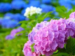 紫陽花の恋物語 (中編)