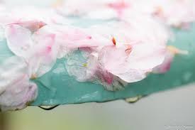 桜散る日の優しい雨・2